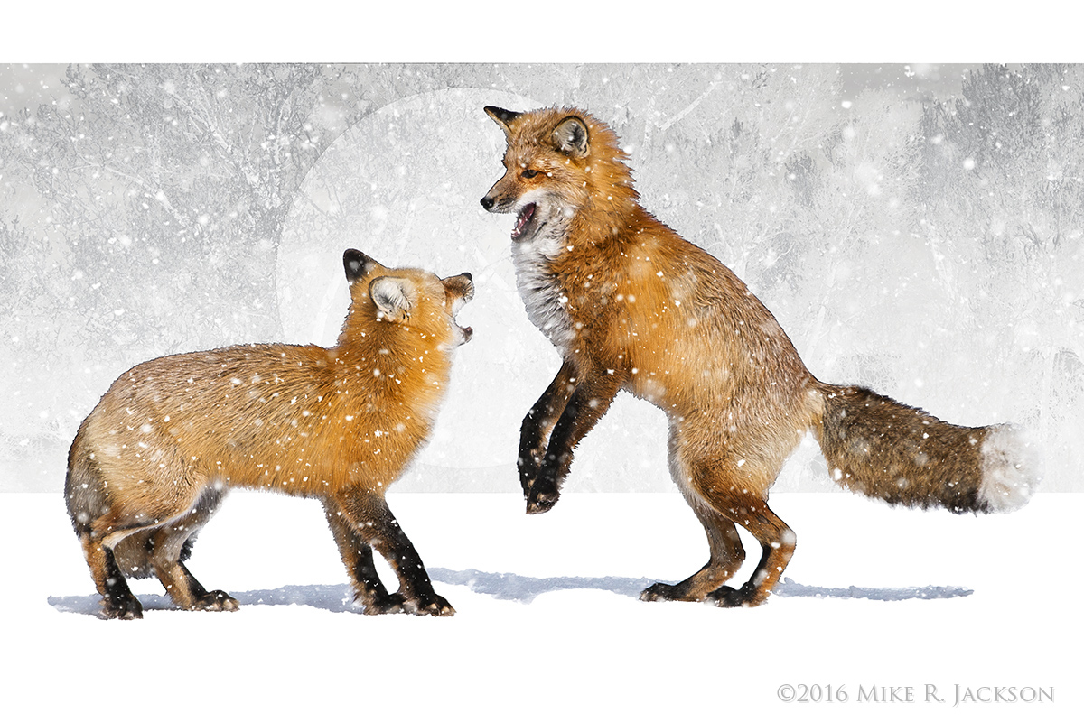 Dancing Foxes