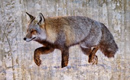 Wooded Cross Fox