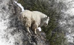 Mountain Goat Sentinel